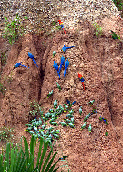 428px-Parrots_at_a_clay_lick_-Tambopata_National_Reserve,_Peru-8d