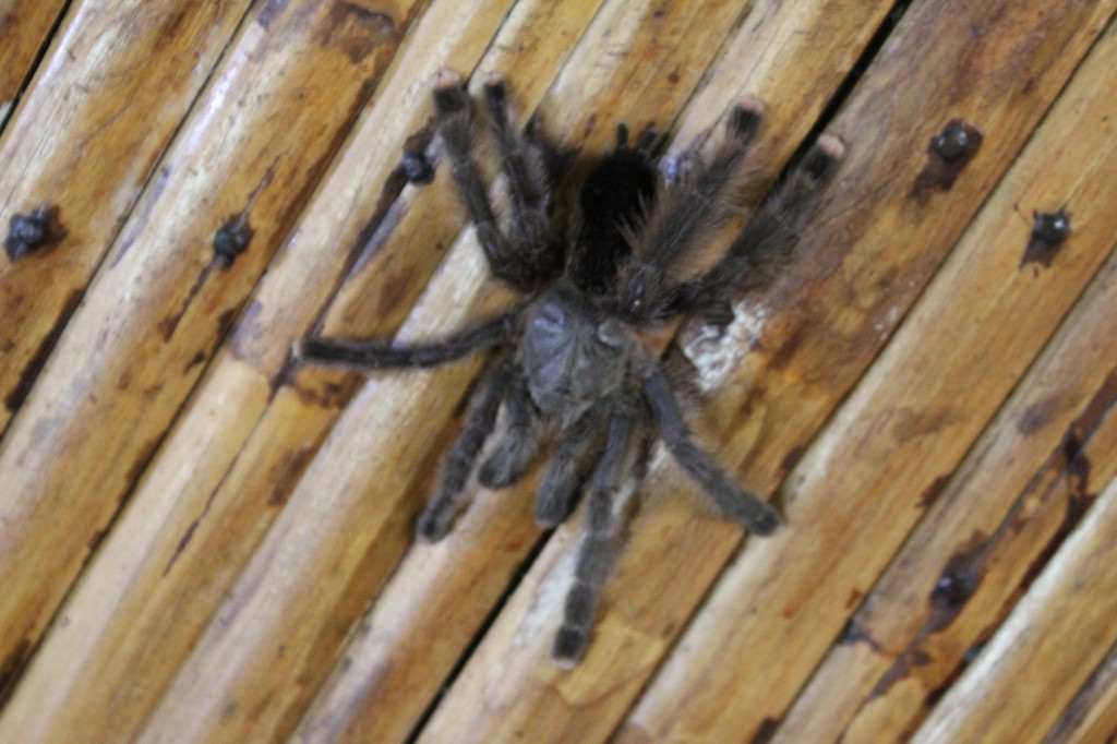 Peru - Amazon - friendly tarantula