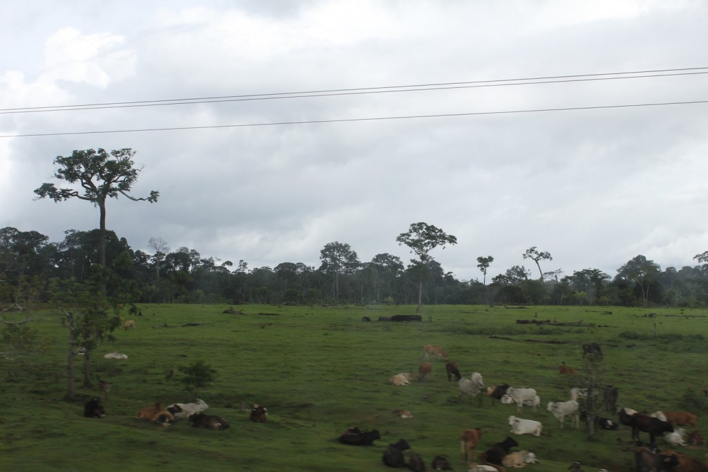 Peru - cows grazing amazon forest